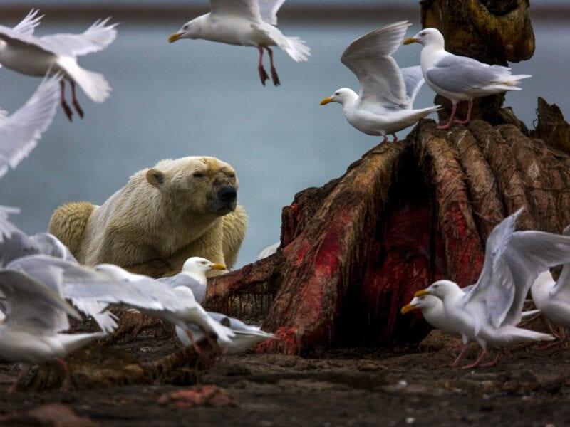 Eisbär, der völlig entkräftet vor einem Walkadaver liegt. Das schmelzende Eis zwingt die Tiere dazu, immer größere Distanzen zu schwimmen. Das Foto ist in Nordamerika entstanden, ähnliche Dramen spielen sich überall in der Arktis ab - Alaska