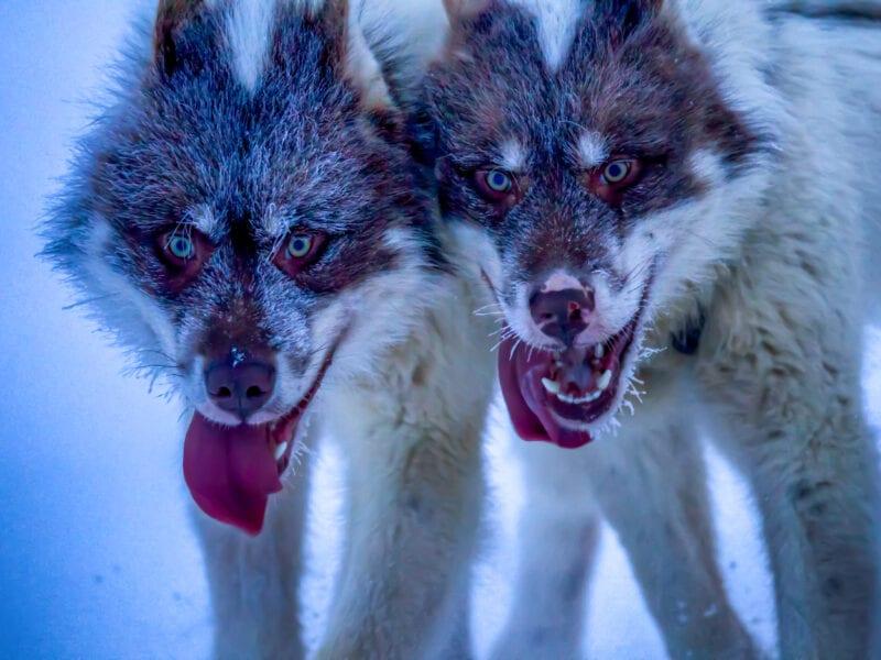 Schlittenhunde während der Jagd: An diesem Tag im Februar fiel das Thermometer auf minus 40 Grad - Nordgrönland